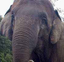 En av elefanten Xiguangs artfränder, en asiatisk elefant.