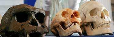 """tre skallar I mitten ligger kraniet av en Homo florensis, """"minimänniskan"""" som fanns i Indonesien för bara några tusen år sedan. Till vänster, Homo erectus, som levde för cirka 1,7 miljoner år sedan och till höger nutidsmänniskan Homo sapiens."""
