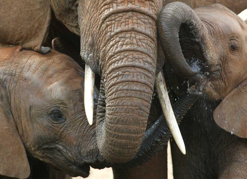 Handeln med elfenben är ett enormt hot mot den afrikanska elefanten.