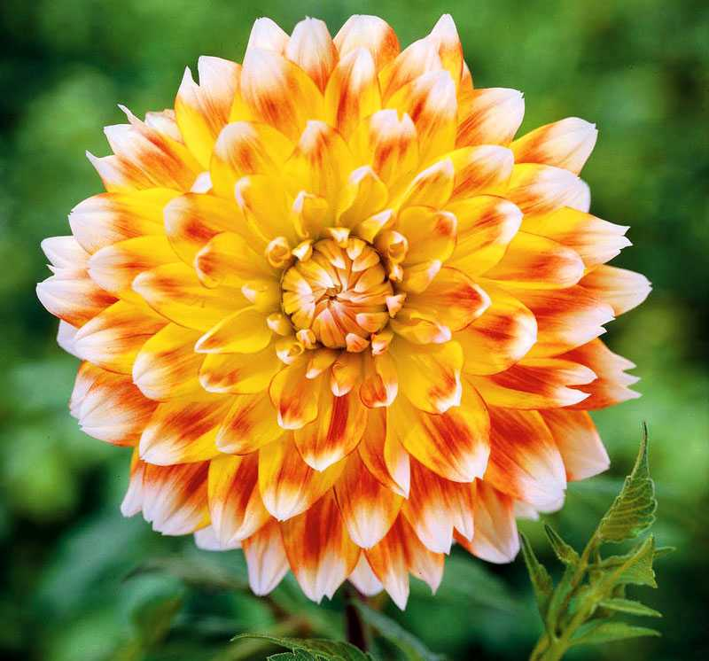 Peaches and Cream. Titta! Den är ju nästa för perfekt. Är det verkligen en riktigt blomma? Fantastisk trefärgad skapelse i vitt, rött och gult. www.nelson.se