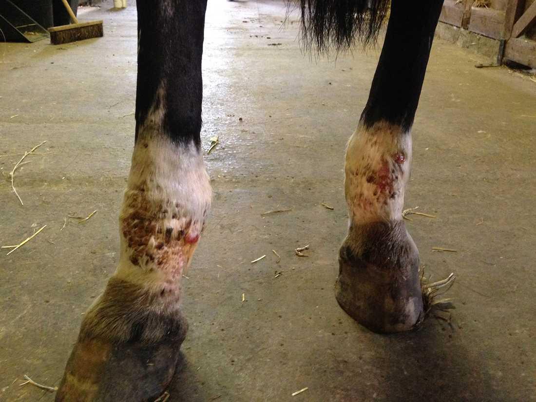 FÖRE: En häst (som egentligen gick utanför häststudien) som haft kroniska muggsår på båda benen i fyra år. Ägaren hade provat allt inklusive antibiotika och lagt 30 000 kronor på att få det läkt. Så här såg hästen ut före behandlingen.