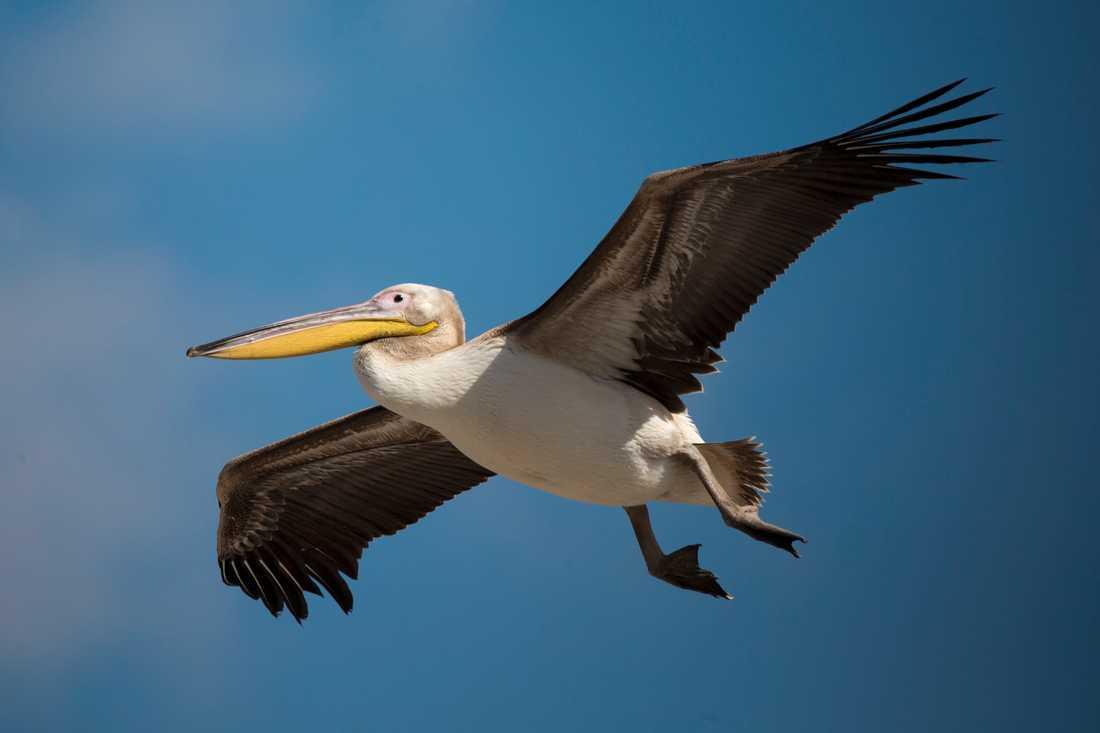 Jakten på svar om pelikandöden i senegaleiska Djoudj pågår för fullt. På bilden en pelikan i Israel. Arkivbild.