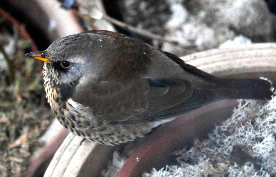 """Björktrast burrar upp sig och väntar på våren. Fågeln hör till en av de nya arter som hamnar i kategorin """"nära hotad"""" på rödlistan."""