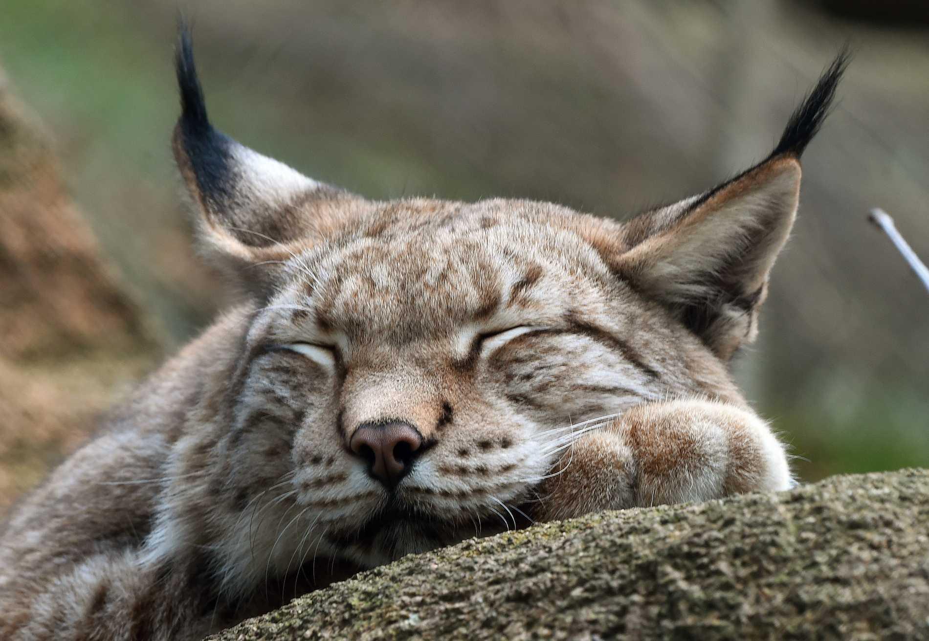 Svenska lodjur verkar må bra. Detta djur är fotat i en inhägnad vid den tyska nationalparken Harz. Arkivbild.