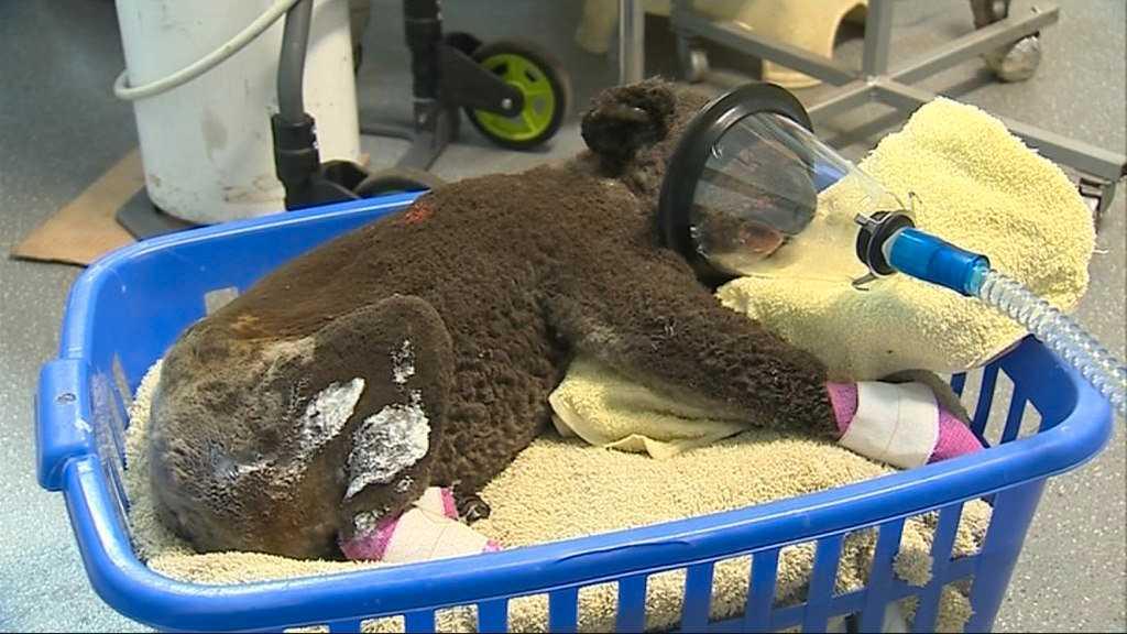 Koalan Peter kom till koalasjukhuset med brännskador på stora delar av kroppen.