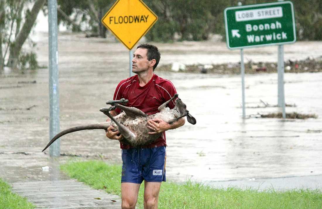 Det finns hopp En liten känguru får hjälp av en invånare att komma undan vattenmassorna. Klicka på bilden för större format!