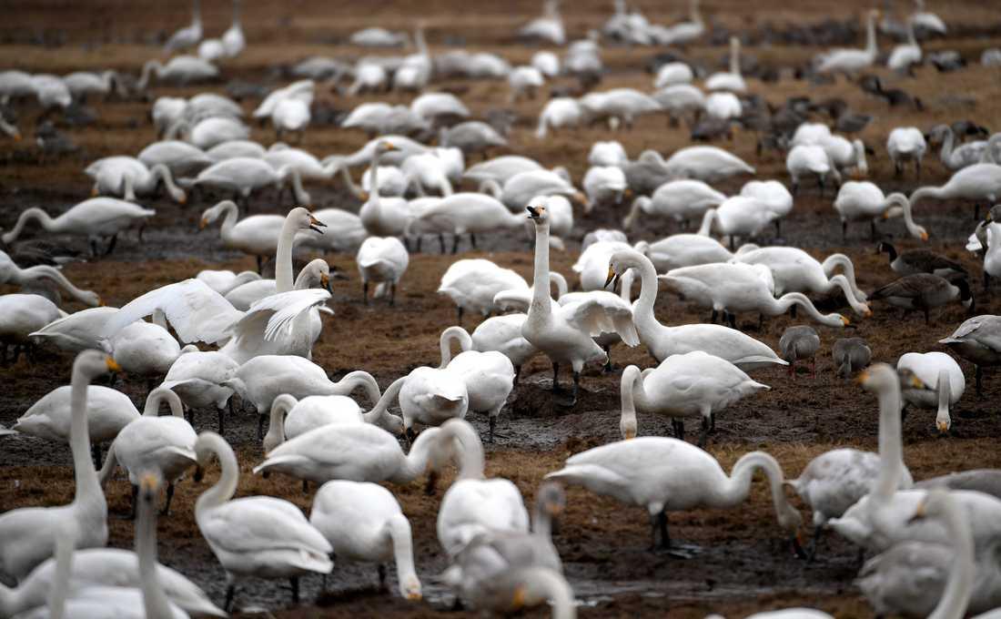 Upp mot 10000 sångsvanar rastar varje år vid sjön Tysslingen. Arkivbild.