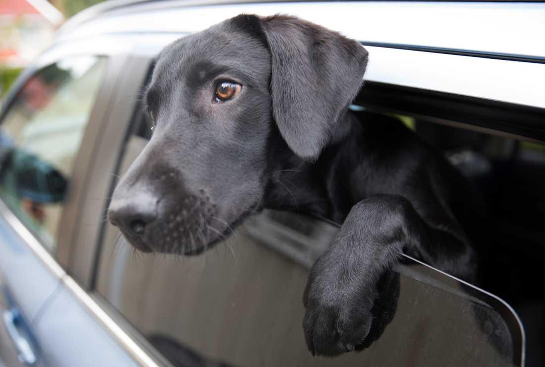 Hundar ska aldrig lämnas i bilen under varma sommardagar. Arkivbild.