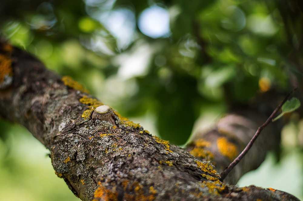 Finns grenkragen kvar bildar trädet antibakteriella ämnen.