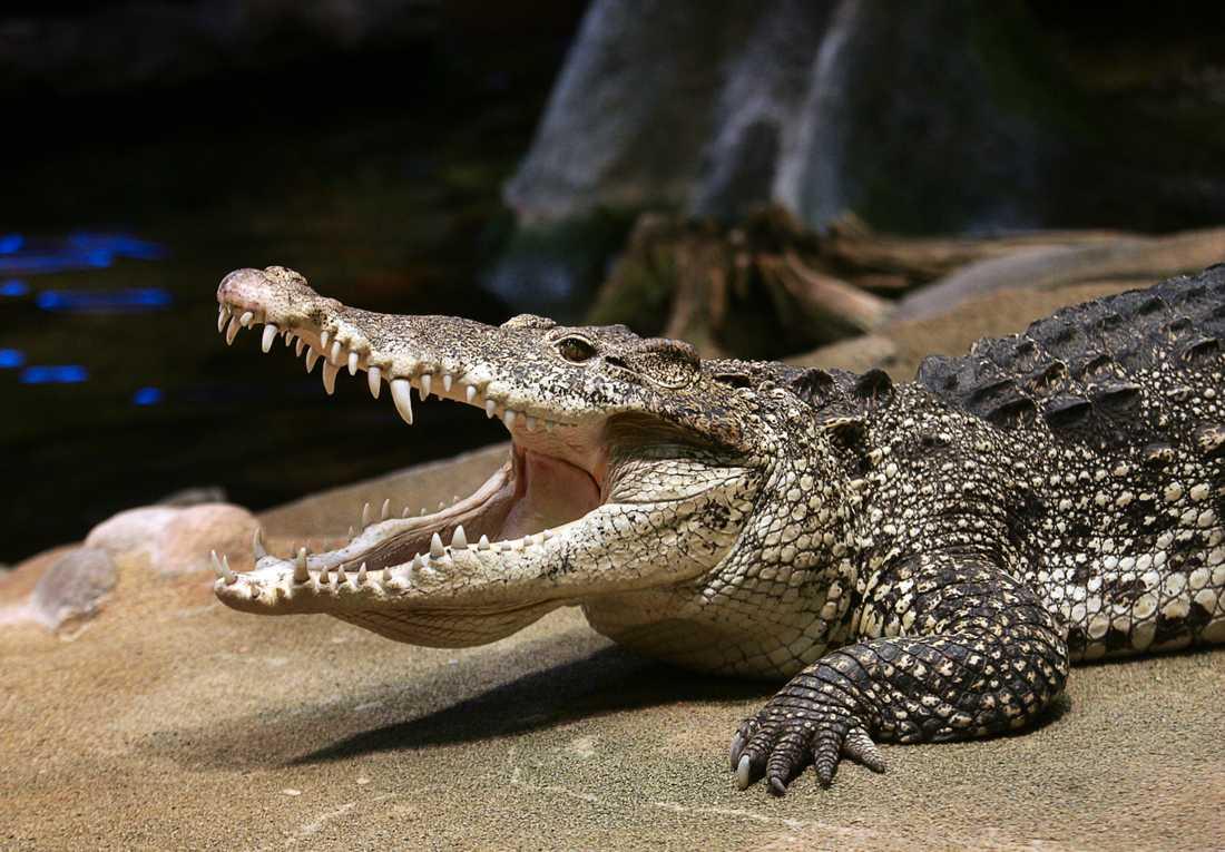 Castro, en av Skansens krokodiler.