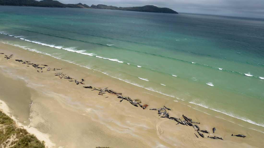 Uppemot 145 grindvalar som strandade vid Mason Bay på nyzeeländska Stewart Island, har dött.