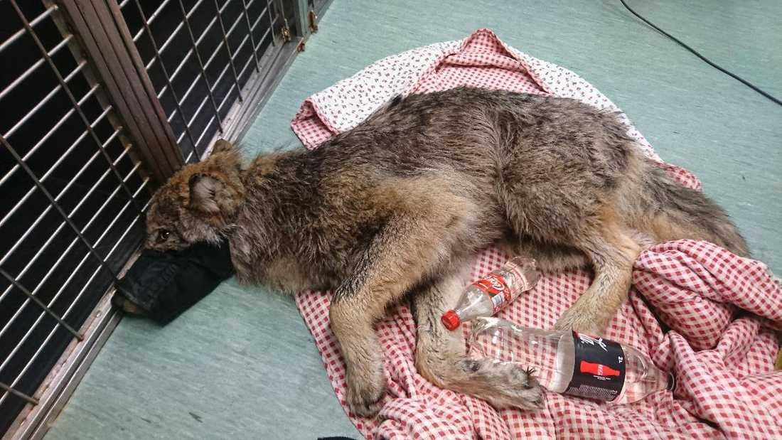 På djurkliniken fick vargen den vård som behövdes.