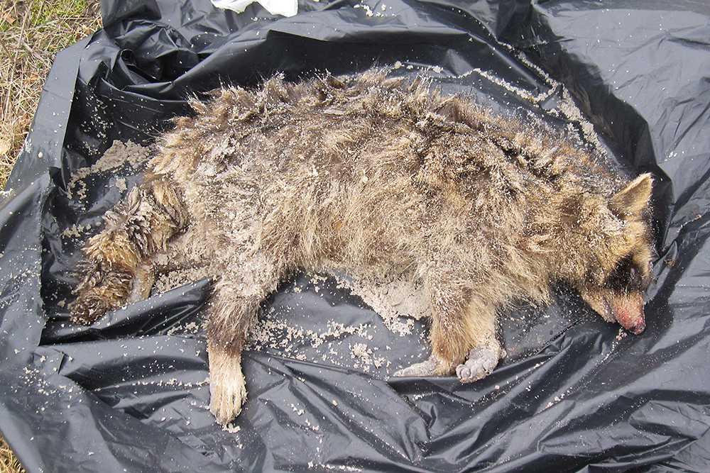 Tvättbjörnen är ett hot mot både djuren och oss människor, säger Nils Carlsson, expert på främmande arter.