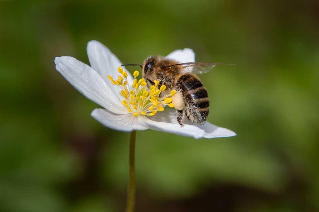 I Sverige finns cirka 270 vilda biarter och en tredjedel av dem är på väg att försvinna. Arkivbild.