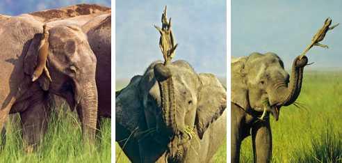 Snurrig vänskap Ödlan hänger på elefantens öra... för att sen snurra runt... och runt i flera dagar...