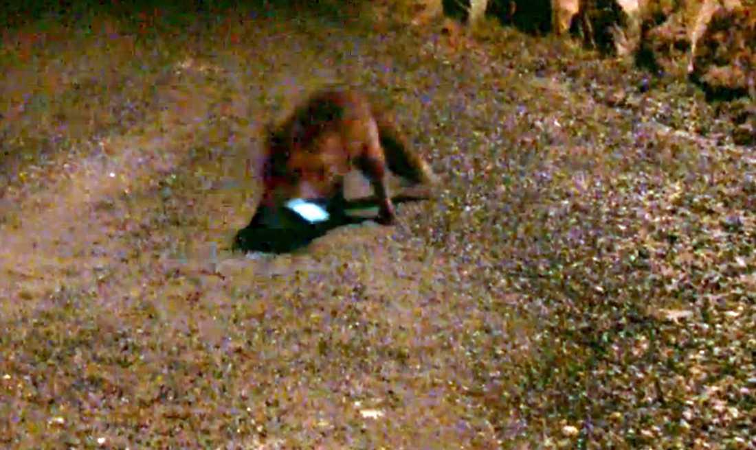 Rövarräven lockades av ljudet från en döende hare, från en app på Lars Andreas telefon och tog med sig bytet.