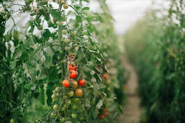 Tomater i långa rader. Nu kan det bli mer närproducerat på tallriken i förskolor, skolor och äldreboende.