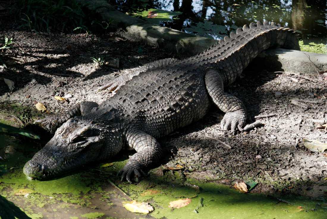 En avlägsen släkting till den nu siktade siamesiska krokodilen solar på ett djurskyddshem i Kambodja. Arkivbild.