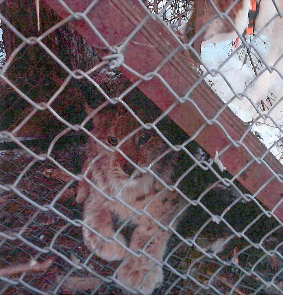 Ett av de djur, ett lodjur, som männen fångade och sedan dödade.