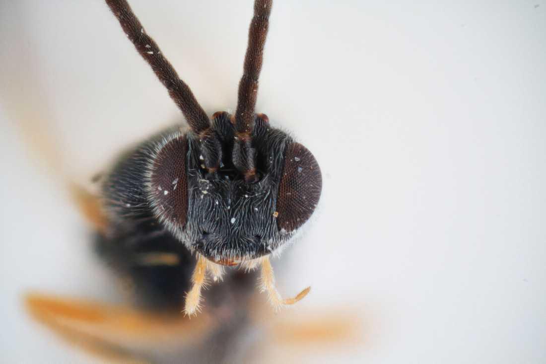 Ett monster i miniatyr. Parasitstekeln Dolichogenidea xenomorph påminner om monstret i filmen Alien. Den lägger sina ägg i fjärilslarver. De senare äts sedan upp levande inifrån av stekelns egna larver.