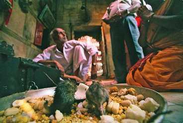 Vid templets heligaste plats sitter en hoper råttor och käkar godis som de troende offrat till gnagarna.