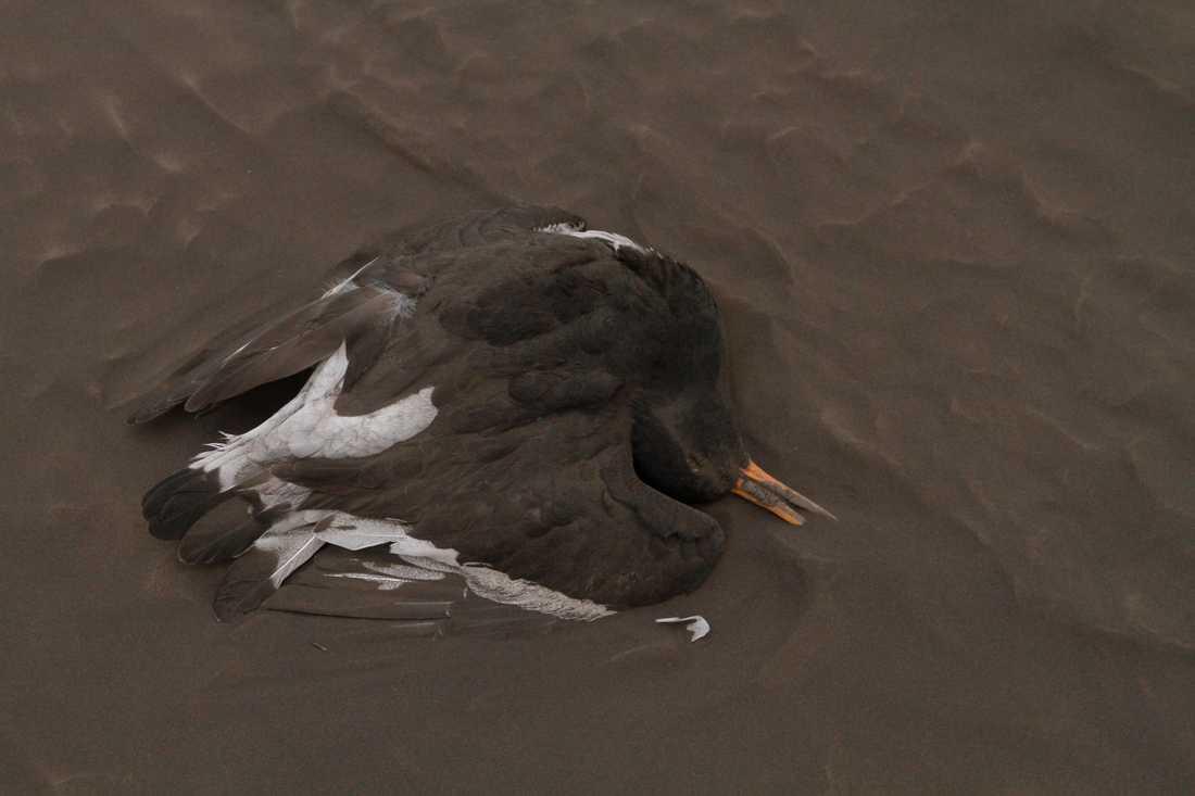 En fågel som hittats död i drivor av aska efter motorvägen förbi Kirkjubaejarklaustur.