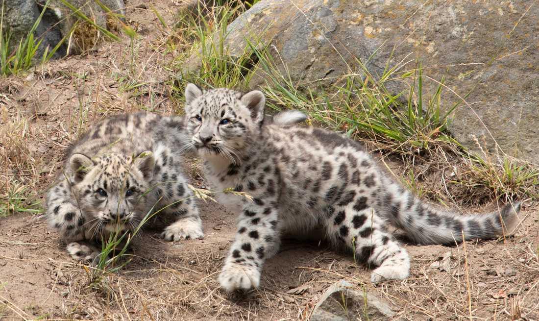 Två snöleopardungar i fångenskap leker på San Francisco Zoo & Gardens. Arkivbild.
