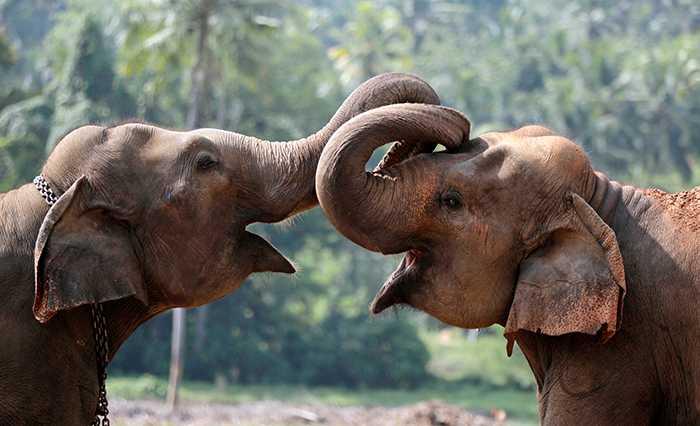 Elefanter som utnyttjas för ridning får ofta inte röra varandra