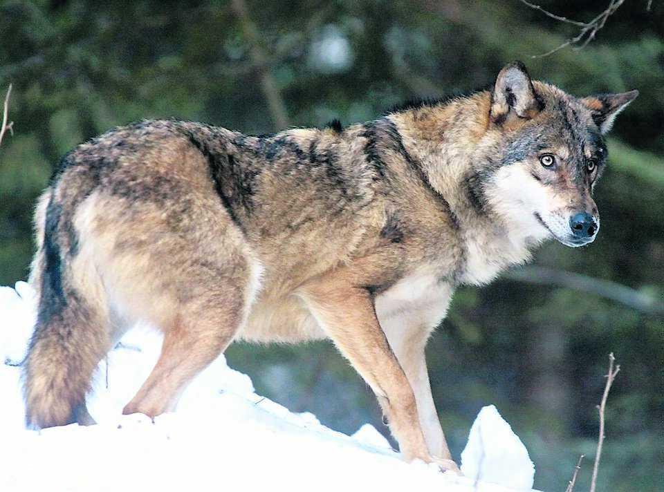 På väg Totalt 20 nya vargar från öst ska placeras i Sverige innan 2014 om det nya förslaget går igenom.