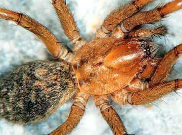 Spindelns bett orsakar sår som inte läker på grund av giftet. Runt såren dör köttet. Luffarspindeln, som kallas så därför att den gillar att lifta eller luffa, har kommit till Sverige.
