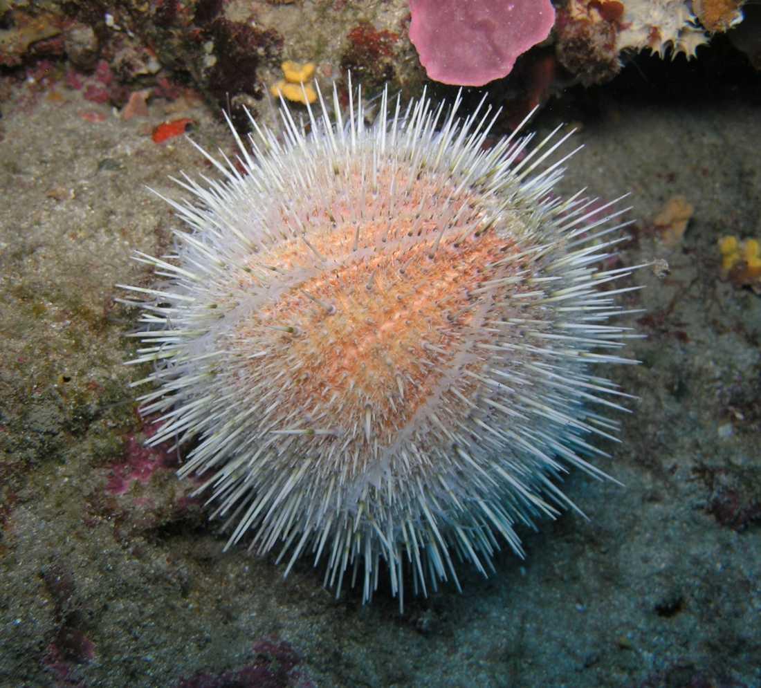Det finns 950 arter av sjöborrar i världen. Vilken sort som stack skådespelaren är okänt.
