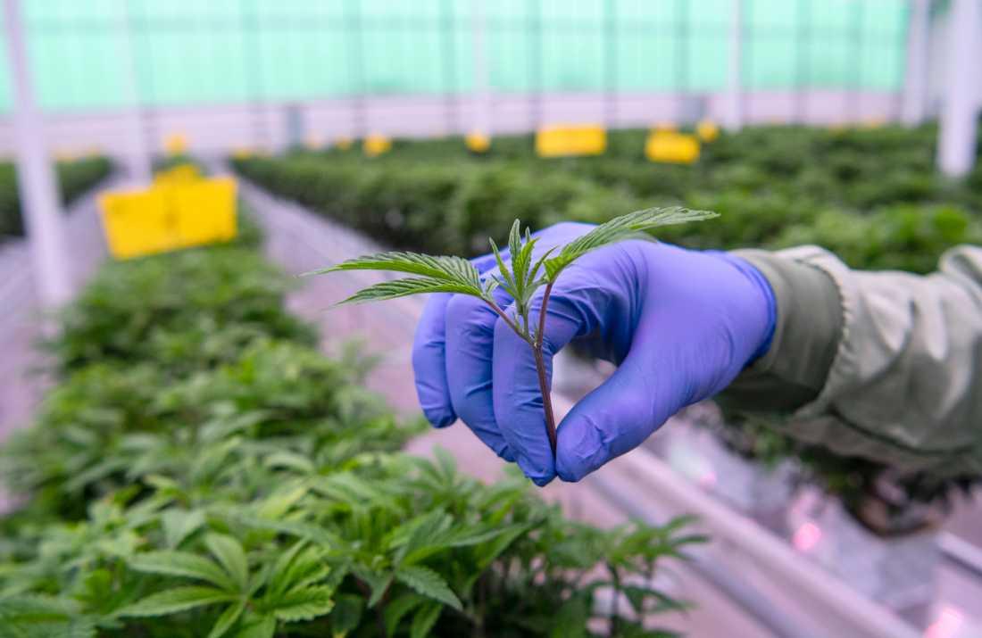 En stickling från en moderplanta i Aurora Nordics anläggning för odling av medicinsk cannabis i Odense i Danmark.