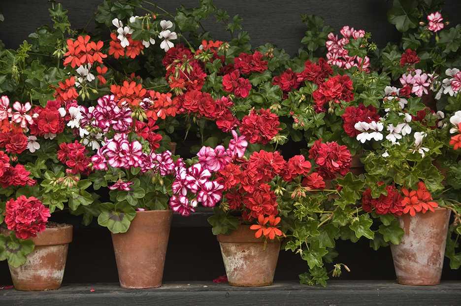 Pelargonen, en av våra mest älskade blommor kommer ständigt i nya färger och former.