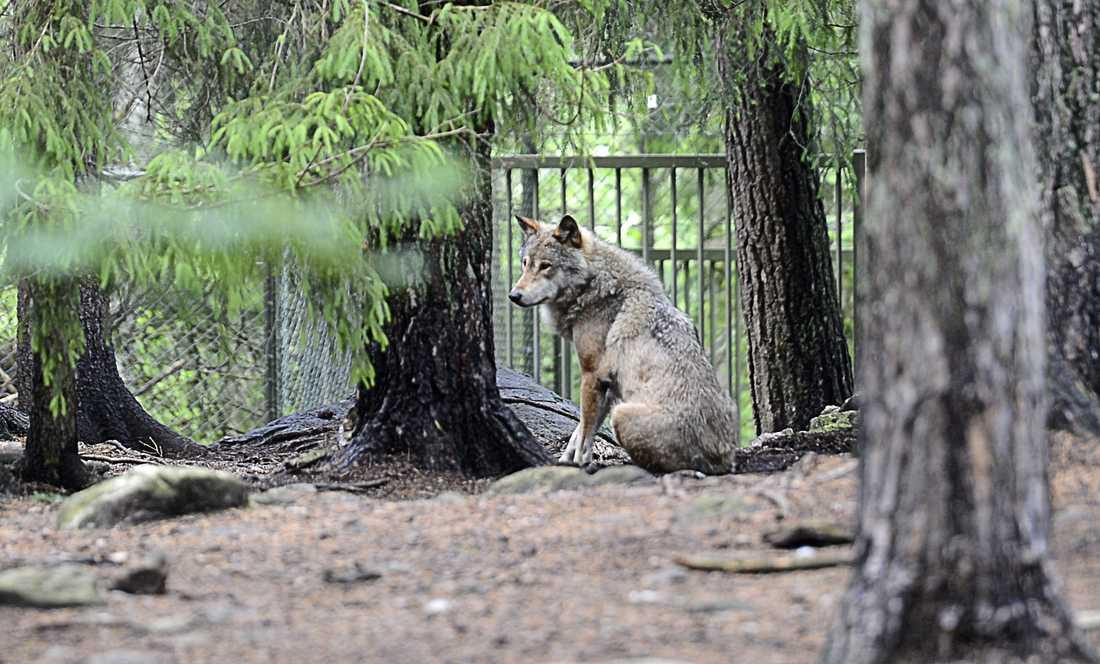 Varg på Kolmården. Det är okänt om vargarna i bildspelet var inblandade i attacken.