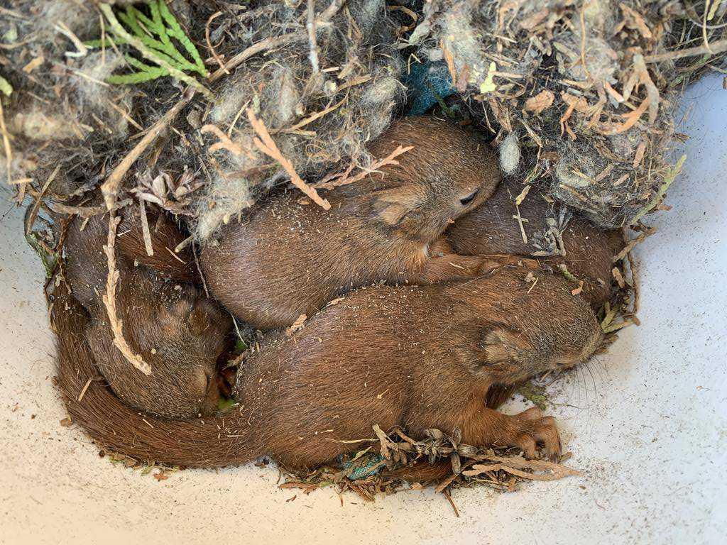 De fem skadade ekorrarna låg stilla nära varandra när de transporterades i en skål till Grönskans Viltrehabilitering på Värmdö.