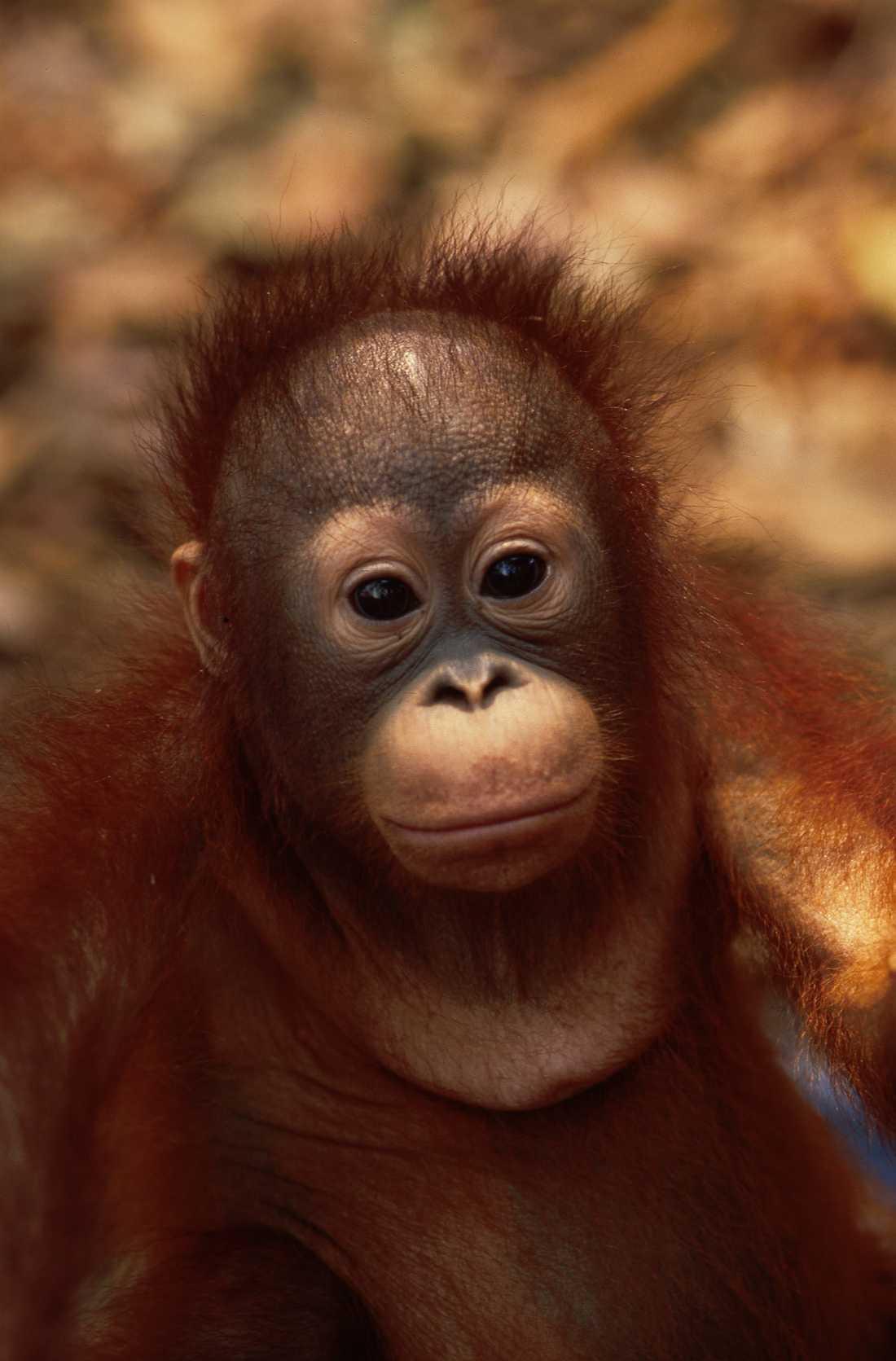 Oljepalmsplantager och tjuvjakt har drabbat orangutangerna på Borneo hårt. Men kanske har man nu lyckats hejda den nedåtgående trenden.