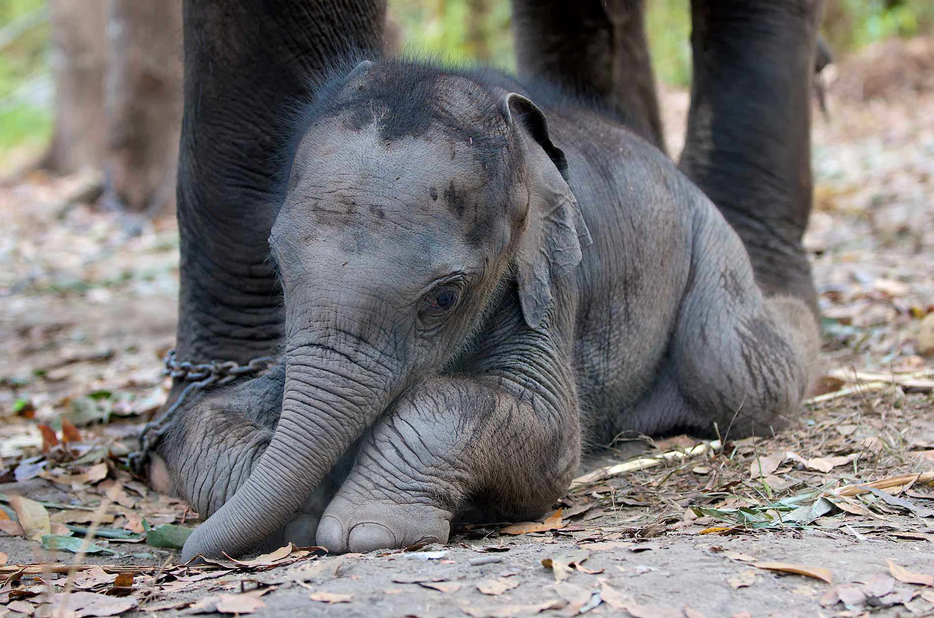 Elefantridning drabbar ofta djuren negativt.