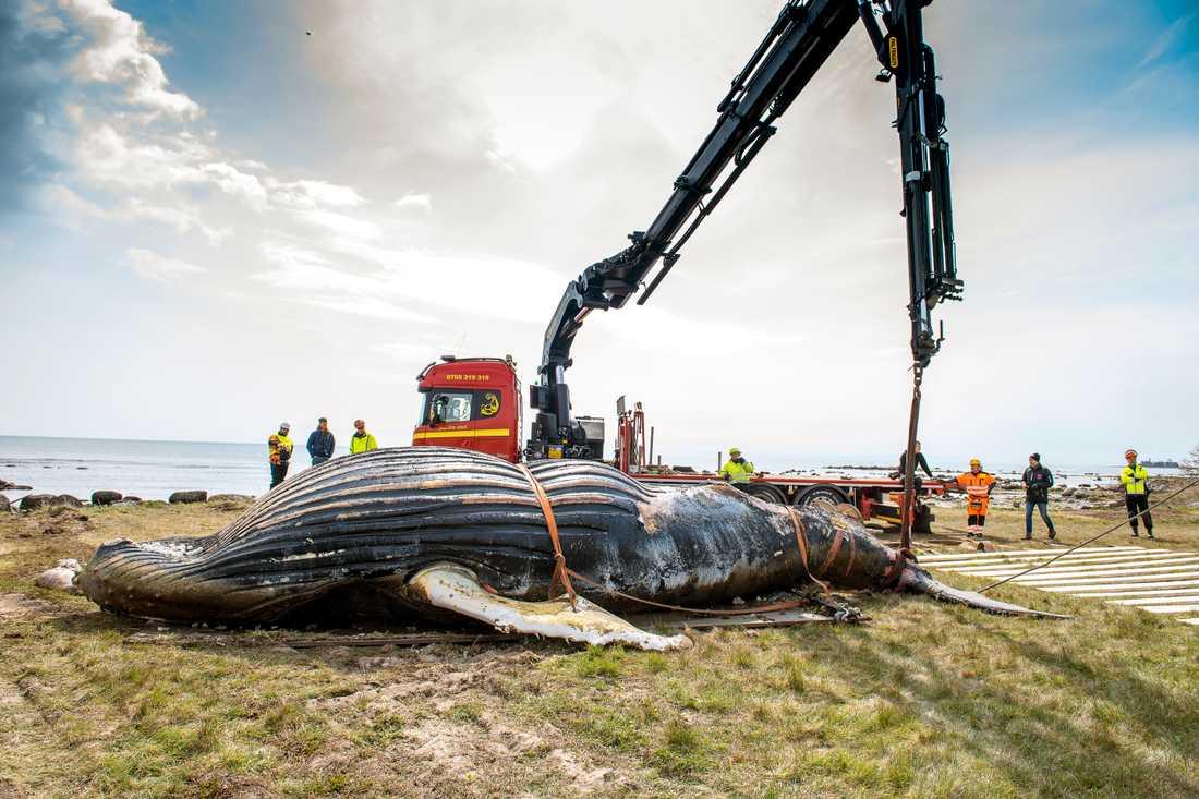 Den döda knölvalen på Öland har nu lastats i en container och ska köras till Danmark för förbränning. Arkivbild.