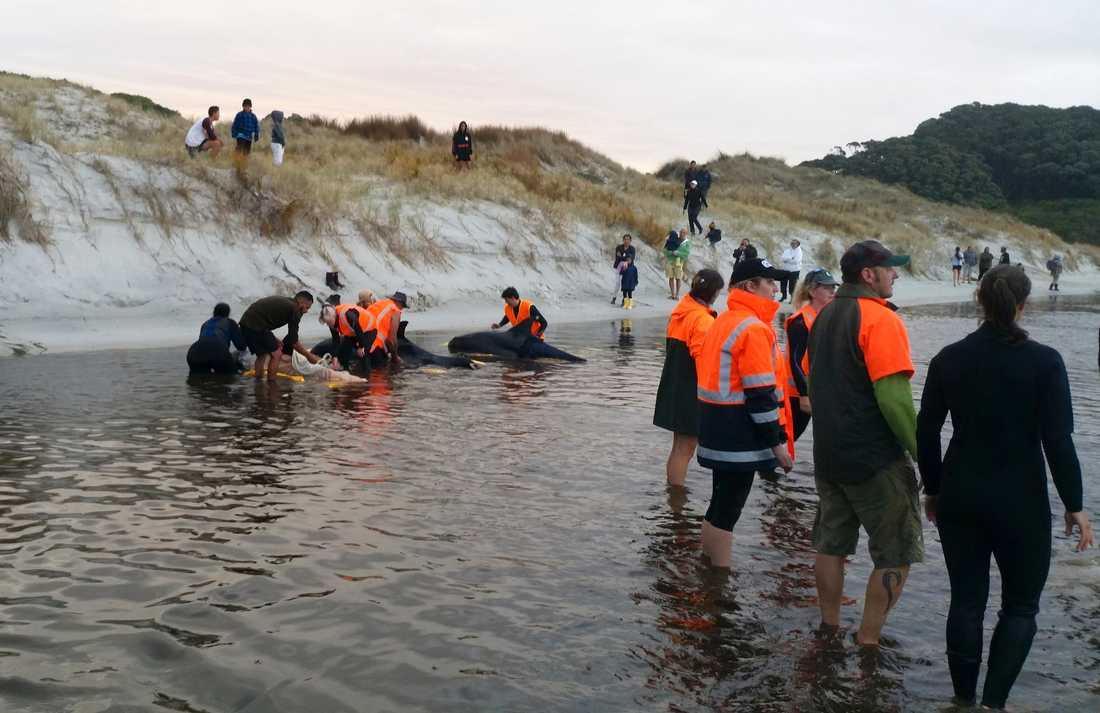 Räddningspersonal hjälps åt att få ut späckhuggarna på djupt vatten igen.