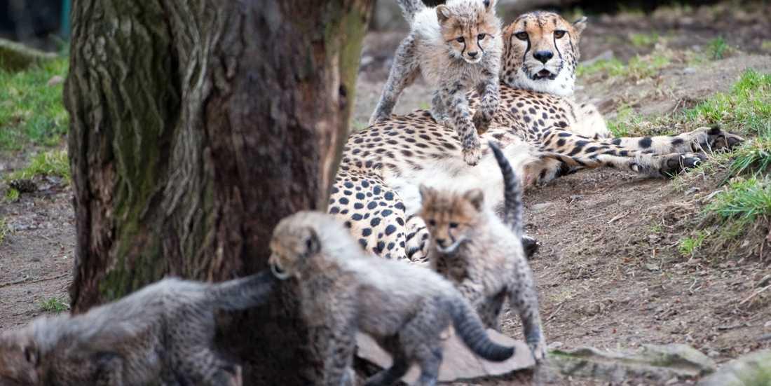 Geparder på Borås djurpark. Arkivbild.