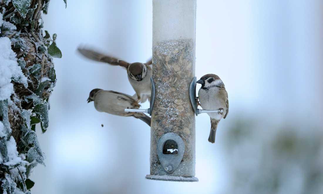 Pilfinkar, fjärde vanligaste vinterfågeln 2018, vid fågelmatsautomat. Arkivbild.