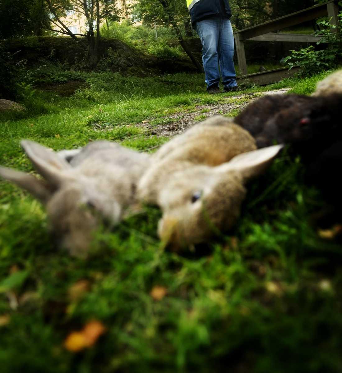 I Nya Zeeland är det inte bara äggjakt under påsk – utan även påskharejakt.