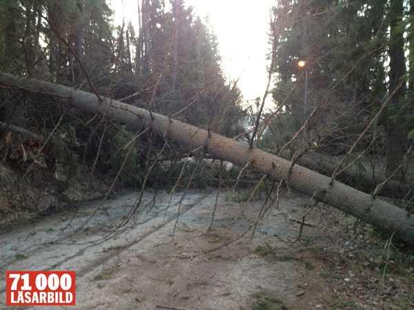 Fyra träd i stormens spår blockerar Lövholmenvägen, i Tumba utanför Stockholm.