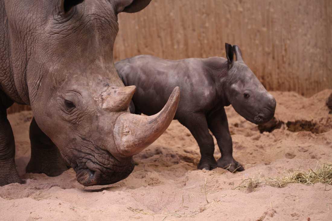 Nyfödd noshörning på Kolmården