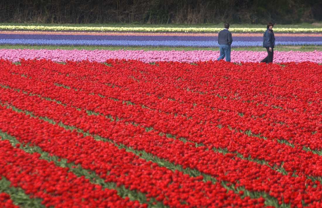 Coronaviruset har skapat kris även i Nederländernas blomsterindustri. Arkivbild.