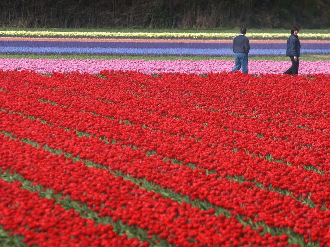 Drogkoer Och Blomsterkris I Nederlanderna Aftonbladet