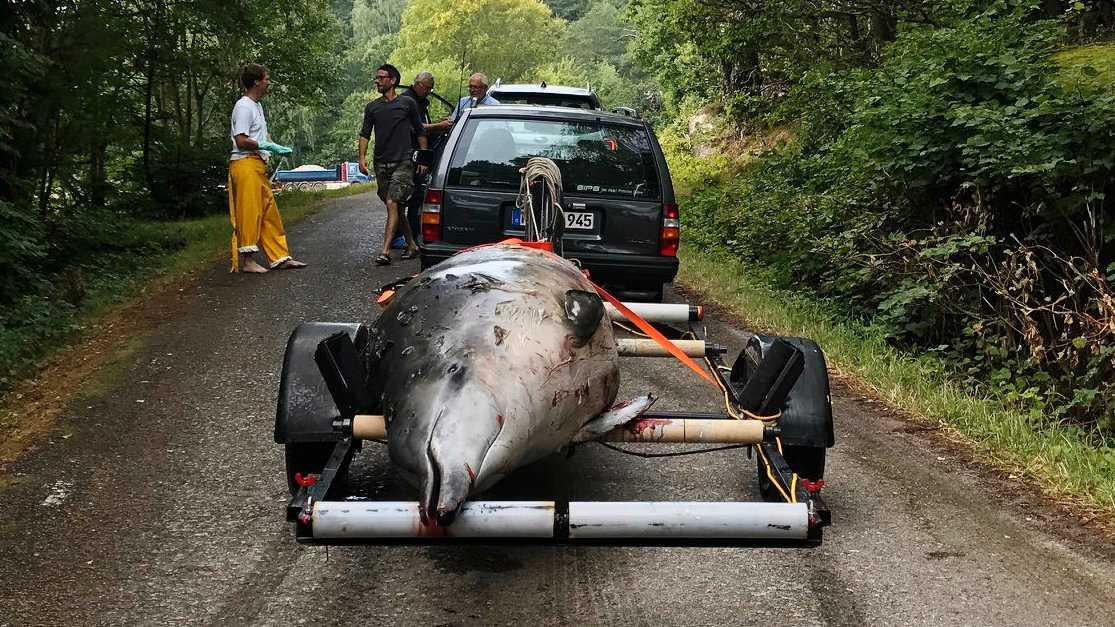 Näbbvalen som hittades död i Åbyfjorden i Bohuslän hade inte ätit på länge. Men varför det blivit så är oklart. Valen hade ett lager späck som den bedöms ha kunnat leva av i normala fall.