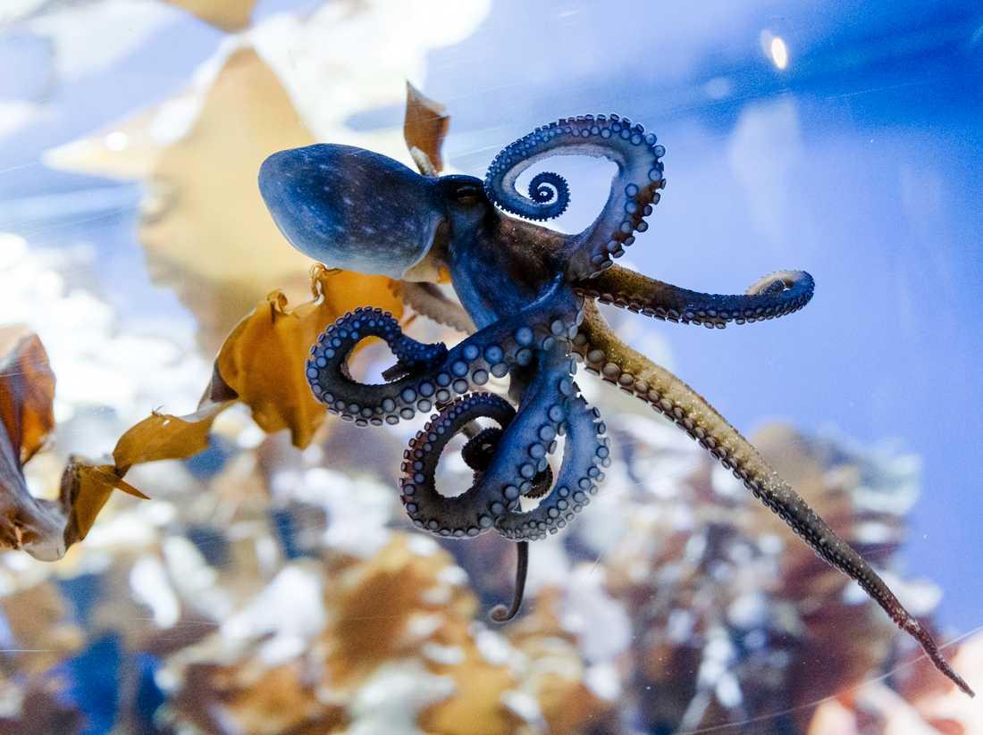 Bläckfiskar kan känna ljus med sina armar. Arkivbild.