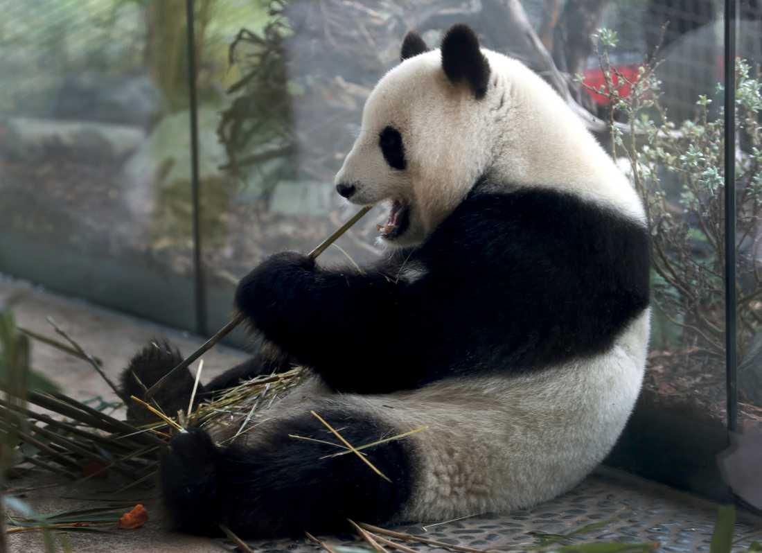Pandan Meng Meng – mamma till de nyfödda ungarna.