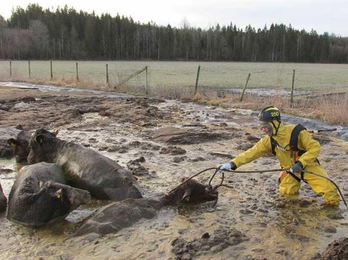 Korna lyckades ta sig ur sitt hägn strax utanför Ljungby.